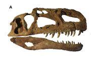Monolophosaurus skull