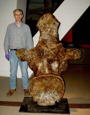Argentinosaurus huinculensis dorsal vertebra