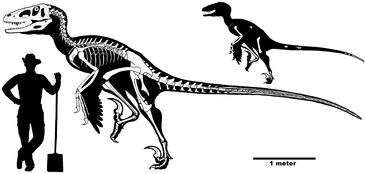Dakotaraptor skeleton