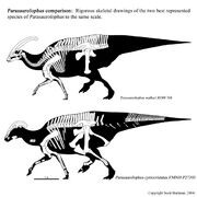 Parasaurolophus skeleton