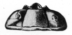 Цефалон гомалонота