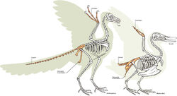 Archeopteryx vs bird