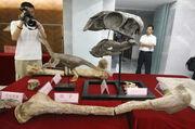 Gigantoraptor fossil