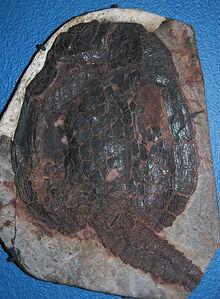 Вентральный щит Cardipeltis bryanti