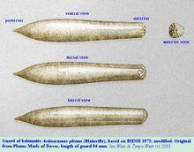 Actinocamax plenus