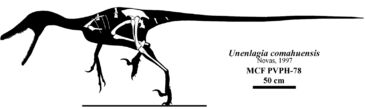 Skeletal reconstruction of Unenlagia comahuensis.