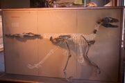 Deinonychus fossils