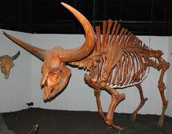 Bison latifrons skeleton