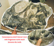 Camarasaurus skull with turtle fossil fragments in the teeth. Peter Larson, Black Hills Institute of Geological Research