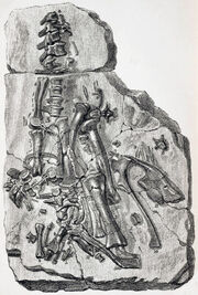 Maidstone fossil Iguanodon 1840 (Mantellodon)