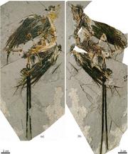 Eoconfuciusornis zhengi