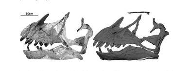 Restoration of the skull of E. zdanskyi reconstruction by Mateer & McIntosh (1985)