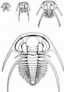 Четыре стадии онтогенеза трилобита Paradoxides