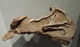 Скелет Прокомпсогната