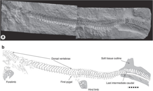 Prognathodon sp. ERMNH HFV 197-A from the Maastrichtian of Harrana.
