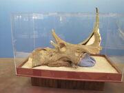 Diabloceratops UMNH VP 16699