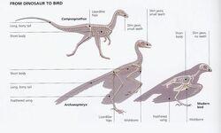 Dinosaur to Bird