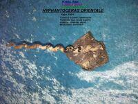 HYPHANTOCERAS ORIENTALE 2