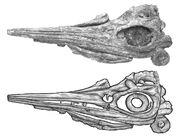 Sveltonectes-skull-big