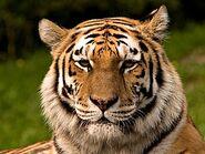 280px-Siberischer tiger de edit02