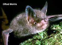 Малая новозеландская летучая мышь