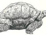 Маврикийская гигантская черепаха