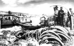 1900 jakutfold mamut agyarak kereskedelme