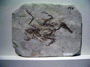 Лонгиптерикс окаменелость
