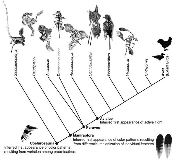 Bird and feather evolution, Mark A. Norell and Xing Xu 2005