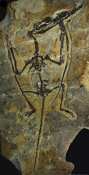 Darwinopterus specimen YH-2000 D. modularis