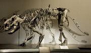Pachyrhinosaurus fossil
