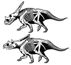 Chasmosaurus belli vs C. russeli