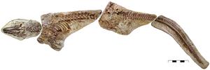 Platecarpus tympaniticus LACM 128319