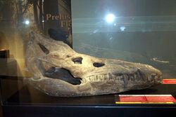 Pliosaurus rossicus skull rec