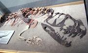 Ceratosaurus fossil