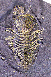 Triarthrus eatoni ventral cropped