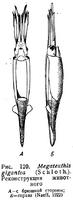 Мегатевтис р