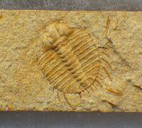 Odontopleura (Sinespinaspis) markhami