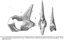 The holotype of Monoclonius sphenocerus, AMNH FR 3989 illustrated in Hatcher et al. (1907)