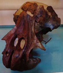 Одобеноцетопс самка череп