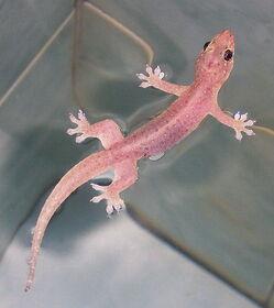 Изменчивая гехира геккон
