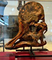 Corythosaurus skull 04