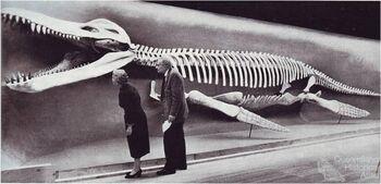 Reconstruction konosaurus 1959 Romer