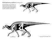 Brachylophosaurus skeleton
