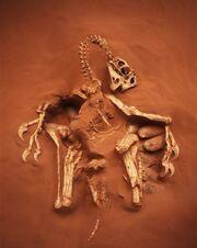Citipati fossil 01