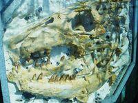 Prognathodon saturator череп