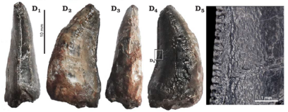Spinosaurid tooth associated with Spinophorosaurus