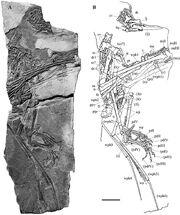 1Carniadactylus rosenfeldi