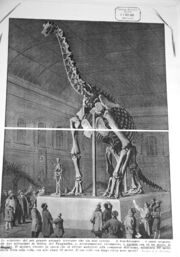 Brachiosaurus brancai in Berlin, 1937