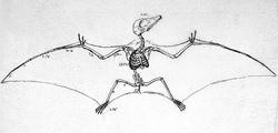 Pterodactylus antiquus soemmerring (P. brevirostris) , 1817 г.